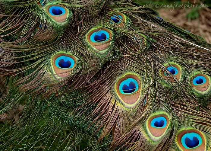 20080404-peacock-tail-feathers.jpg