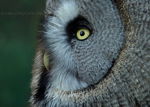Great Grey Owl Profile