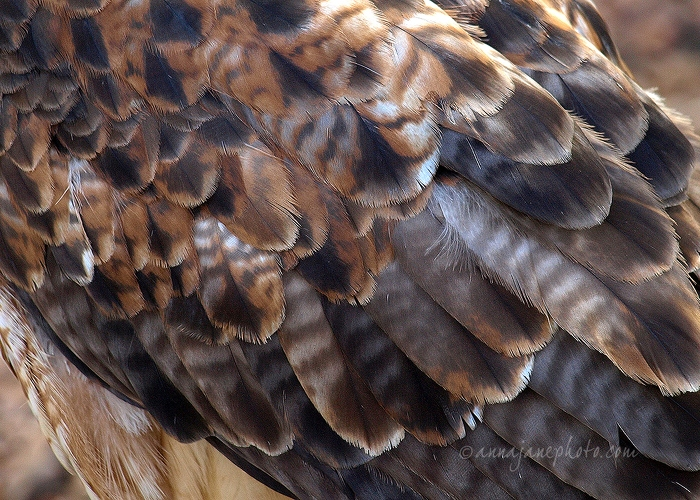 20100404-red-tail-buzzard-feathers.jpg