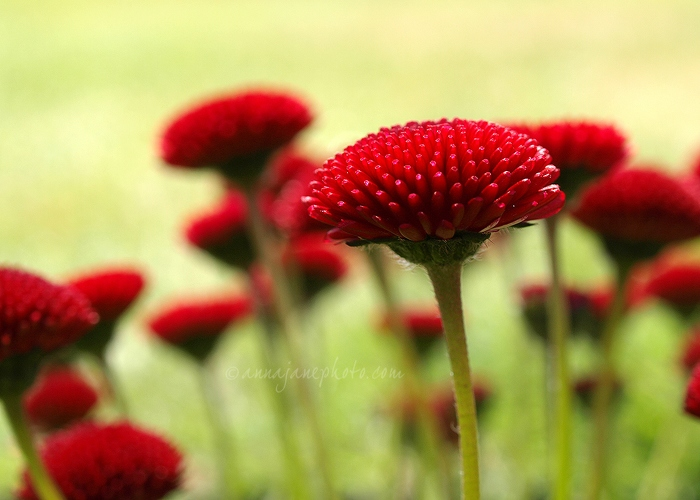 Red Flowers - 20100515-red-flowers.jpg - Anna Nielsson