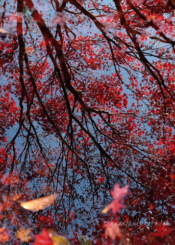 Japanese Maple Reflections - 20121104-japanese-maple-tree-reflections.jpg - Anna Nielsson