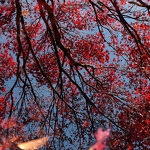 Japanese Maple Reflections