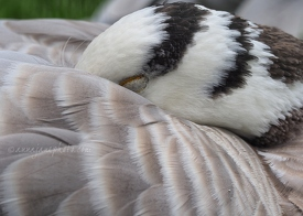 Sleeping Bar-Headed Goose