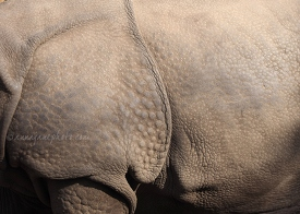 Greater One-Horned Rhinoceros Skin