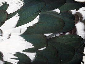 Muscovy Duck Feathers