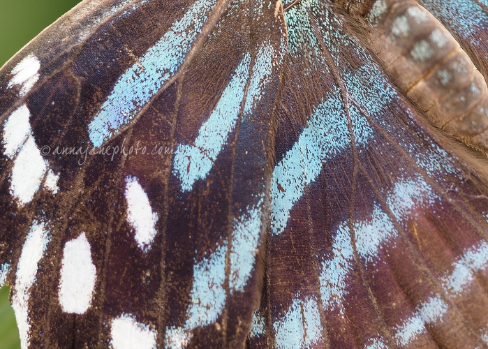 Mexican Bluewing Butterfly - 20160617-mexican-bluewing-butterfly.jpg - Anna Nielsson