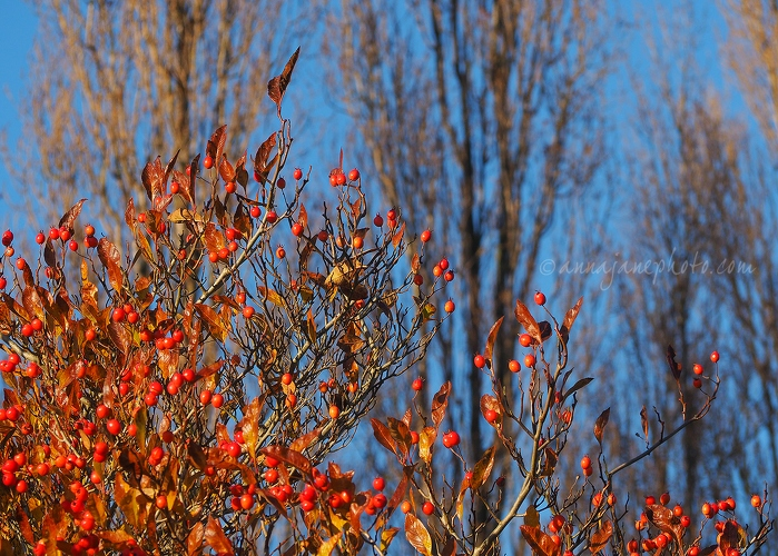 Autumn Leaves & Berries - 20161125-autumn-leaves-and-berries.jpg - Anna Nielsson