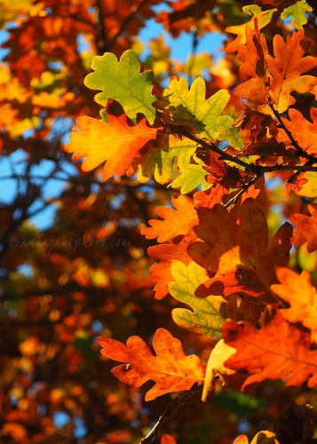 Autumn Leaves - 20161125-autumn-oak-leaves.jpg - Anna Nielsson