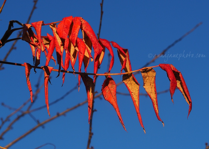 Red Leaves - 20161125-red-leaves.jpg - Anna Nielsson