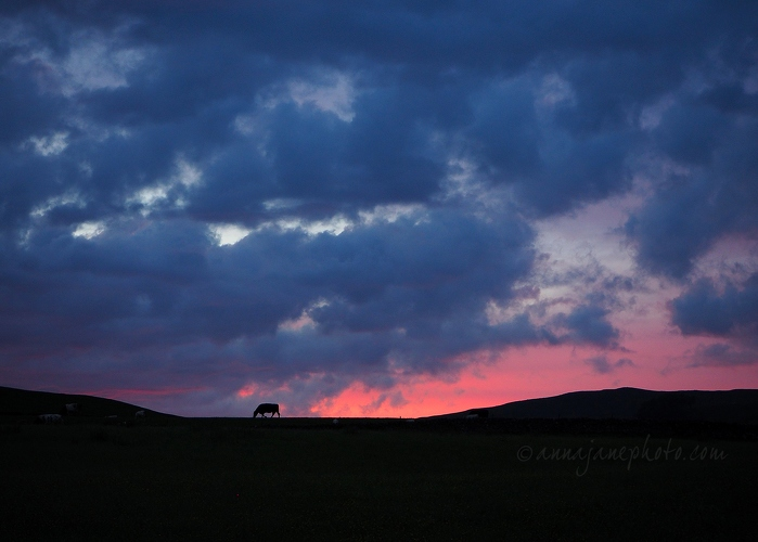 Cows at Sunset - 20170528-cows-at-sunset.jpg - Anna Nielsson