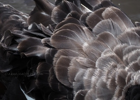 Black Swan Feathers