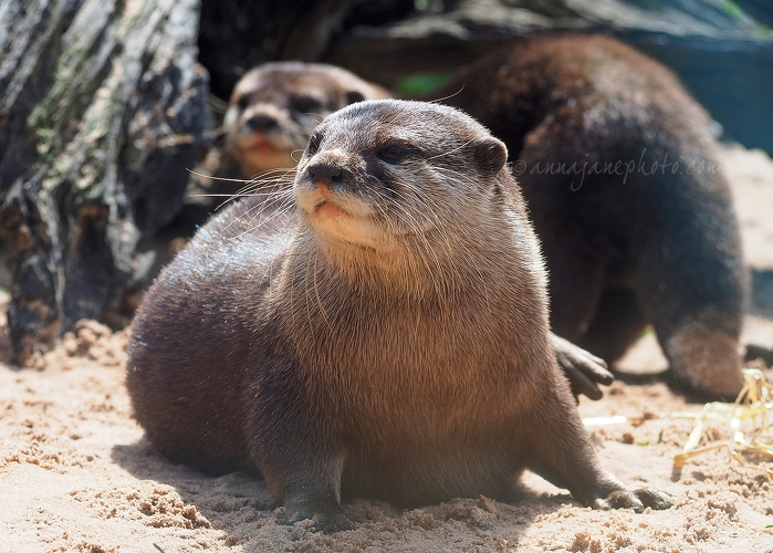 Otters - 20170607-otters.jpg - Anna Nielsson