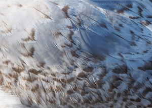 Juvenile Common Gull Feathers