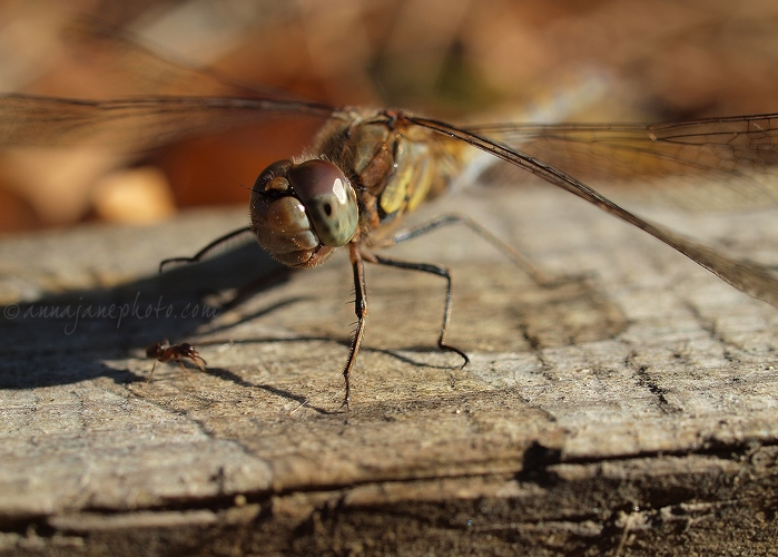 Common Darter Dragonfly - 20130922-common-darter-dragonfly.jpg - Anna Nielsson