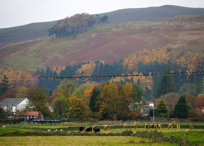 Birds and Cows - 20161030-birds-and-cows-moniaive.jpg - Anna Nielsson